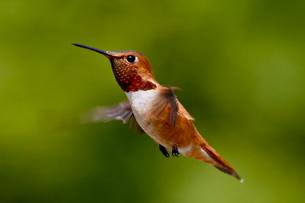Rufous hummingbird (Selasphorus rufus), near Saanichの写真素材 [FYI03775494]