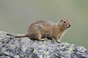 Arctic ground squirrel (Parka squirrel) (Citellus parryi), Hatcher Pass, Alaska'の写真素材 [FYI03775502]