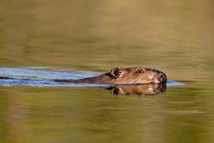 Beaver (Castor canadensis) swimming in a pond, Denali Highway, Alaska'の写真素材 [FYI03775510]