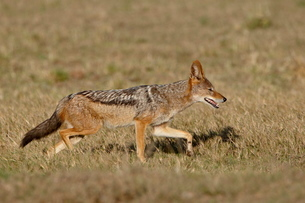 Black-backed Jackal (Silver-backed Jackal) (Canis mesomelas) running, Addo Elephant National Parkの写真素材 [FYI03775577]