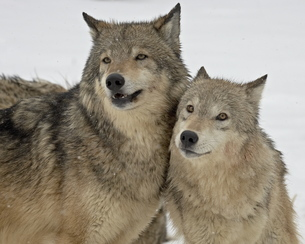 Two Gray Wolves (Canis lupus) in the snow in captivity, near Bozeman, Montana'の写真素材 [FYI03775589]