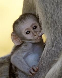 Infant Vervet Monkey (Chlorocebus aethiops) nursing, Kruger National Parkの写真素材 [FYI03775610]