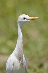 Cattle Egret (Bubulcus ibis), Kruger National Parkの写真素材 [FYI03775611]