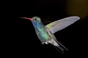 Male broad-billed hummingbird (Cynanthus latirostris) in flight, Madera Canyon, Coronado National Foの写真素材 [FYI03775636]