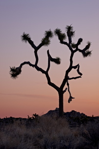 Joshua tree at dawn, Joshua Tree National Parkの写真素材 [FYI03775643]