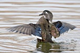 Female wood duck (Aix sponsa) flapping wings, Rio Grande Zoo, Albuquerque Biological Park, Albuquerqの写真素材 [FYI03775663]