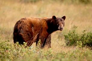 Black bear (Ursus americanus), Waterton Lakes National Park, Albertaの写真素材 [FYI03775714]