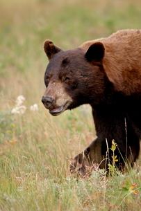 Black bear (Ursus americanus), Waterton Lakes National Park, Albertaの写真素材 [FYI03775715]