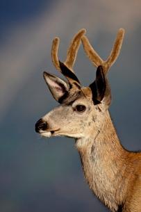 Mule deer (Odocoileus hemionus) buck in velvet, Glacier National Park, Montana'の写真素材 [FYI03775726]