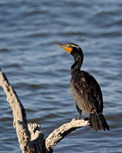 Double-crested cormorant (Phalacrocorax auritus), Sonny Bono Salton Sea National Wildlife Refugeの写真素材 [FYI03775772]