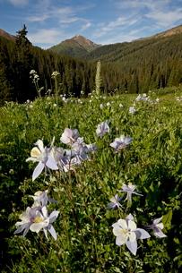 Blue columbine (Aquilegia coerulea) in a meadow, Maroon Bells-Snowmass Wilderness, White River Natioの写真素材 [FYI03775775]