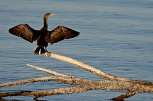 Juvenile double-crested cormorant (Phalacrocorax auritus) spreading its wings to dry, Sonny Bono Salの写真素材 [FYI03775778]