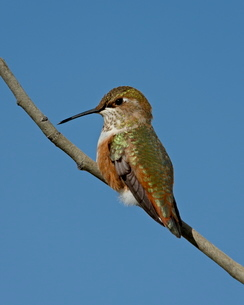 Female rufous hummingbird (Selasphorus rufus) perched, Routt National Forest, Colorado'の写真素材 [FYI03775780]