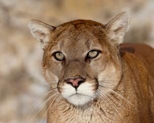 Mountain Lion (Cougar) (Felis concolor) in captivity, near Bozeman, Montana'の写真素材 [FYI03775827]