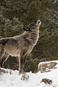 Captive gray wolf (Canis lupus) howling in the snow, near Bozeman, Montana'の写真素材 [FYI03775833]