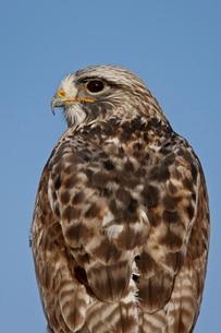 Close-up of female rough-legged hawk (Buteo lagopus), Antelope Island State Parkの写真素材 [FYI03775840]