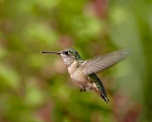 Female calliope Hummingbird (Stellula calliope) hovering, near Oliverの写真素材 [FYI03775860]