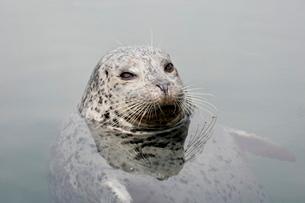 Harbor seal (Phoca vitulina), near Victoriaの写真素材 [FYI03775869]