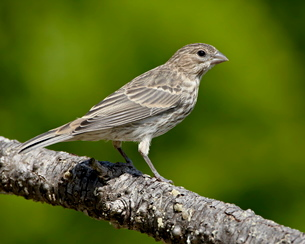 Female house finch (Carpodacus mexicanus), near Saanichの写真素材 [FYI03775874]