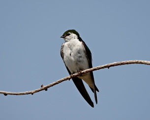 Violet-green swallow (Tachycineta thalassina), Sidney Spitの写真素材 [FYI03775879]