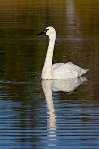 Trumpeter swan (Cygnus buccinator) swimming, Denali Highway, Alaska'の写真素材 [FYI03775910]