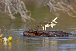 Beaver (Castor canadensis) swimming with food, Denali National Park and Preserve, Alaska'の写真素材 [FYI03775919]