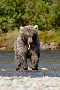Grizzly bear (Ursus arctos horribilis) (Coastal brown bear) eating a salmon, Katmai National Park anの写真素材 [FYI03775928]