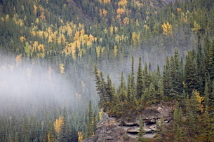 Fog and fall colors, Alaska Highwayの写真素材 [FYI03775941]