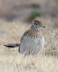 Greater roadrunner (Geococcyx californianus), Bosque Del Apache National Wildlife Refuge, New Mexicoの写真素材 [FYI03775969]