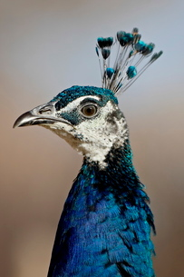 Indian peafowl (Pavo cristatus) cock, Rio Grande Zoo, Albuquerque Biological Park, Albuquerque, Newの写真素材 [FYI03775973]