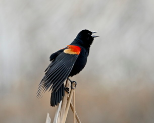 Red-winged blackbird (Agelaius phoeniceus) male, San Jacinto Wildlife Areaの写真素材 [FYI03775988]