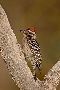 Male ladder-backed woodpecker (Picoides scalaris), The Pond, Amado, Arizona'の写真素材 [FYI03775999]