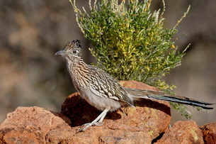 Greater roadrunner (Geococcyx californianus), The Pond, Amado, Arizona'の写真素材 [FYI03776003]