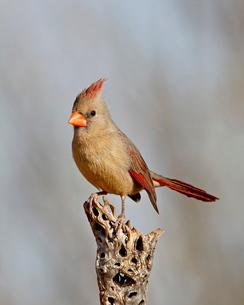 Female northern cardinal (Cardinalis cardinalis), The Pond, Amado, Arizona'の写真素材 [FYI03776005]