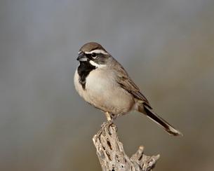 Black-throated sparrow (Amphispiza bilineata), The Pond, Amado, Arizona'の写真素材 [FYI03776018]