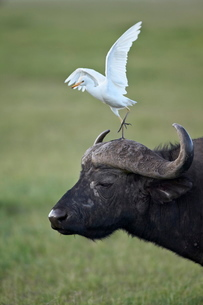 Cape buffalo (African buffalo) (Syncerus caffer) and cattle egret (Bubulcus ibis), Ngorongoro Craterの写真素材 [FYI03776039]