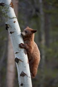 Cinnamon black bear (Ursus americanus) yearling cub climbing a tree, Yellowstone National Parkの写真素材 [FYI03776061]