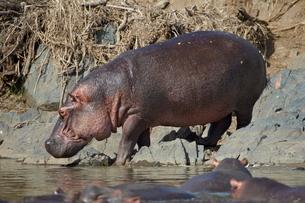 Hippopotamus (Hippopotamus amphibius) returning to the water, Serengeti National Park, Tanzaniaの写真素材 [FYI03776079]