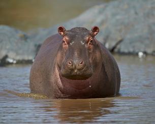 Hippopotamus (Hippopotamus amphibius) in shallow water, Serengeti National Park, Tanzaniaの写真素材 [FYI03776085]
