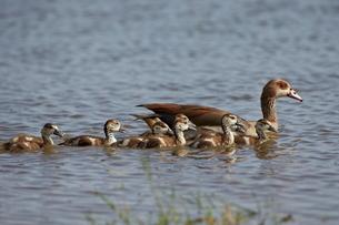 Egyptian goose (Alopochen aegyptiacus) adult and goslings, Serengeti National Park, Tanzaniaの写真素材 [FYI03776088]