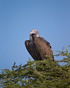 Lappet-faced vulture (Torgos tracheliotus), Serengeti National Park, Tanzaniaの写真素材 [FYI03776102]