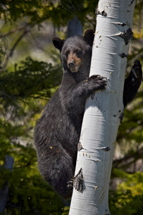 Black Bear (Ursus americanus) sow climbing a tree, Yellowstone National Park, Wyoming, United Statesの写真素材 [FYI03776183]