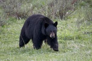Black Bear (Ursus americanus), Yellowstone National Parkの写真素材 [FYI03776185]