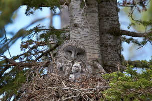 Great Gray Owl (Great Grey Owl) (Strix nebulosa) female and 11-day-old chicks, Yellowstone Nationalの写真素材 [FYI03776193]