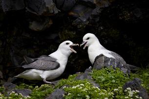 Northern Fulmar (Arctic Fulmar) (Fulmarus glacialis) pair, Icelandの写真素材 [FYI03776197]