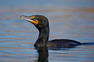 Double-crested cormorant (Phalacrocorax auritus), Clark County, Nevada'の写真素材 [FYI03776259]
