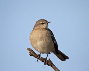 Northern Mockingbird (Mimus polyglottos), Overton Wildlife Management Area, Overton, Nevada'の写真素材 [FYI03776265]