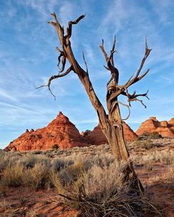 Dead juniper trunk and sandstone cones, Coyote Buttes Wilderness, Vermilion Cliffs National Monumentの写真素材 [FYI03776293]