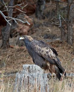 Golden eagle (Aquila chrysaetos), Custer State Park, South Dakota'の写真素材 [FYI03776297]