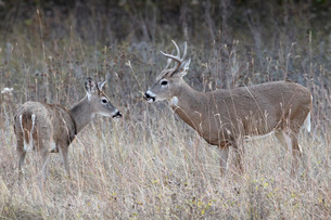 Two white-tailed deer (whitetail deer) (Virginia deer) (Odocoileus virginianus) bucks, Custer Stateの写真素材 [FYI03776306]
